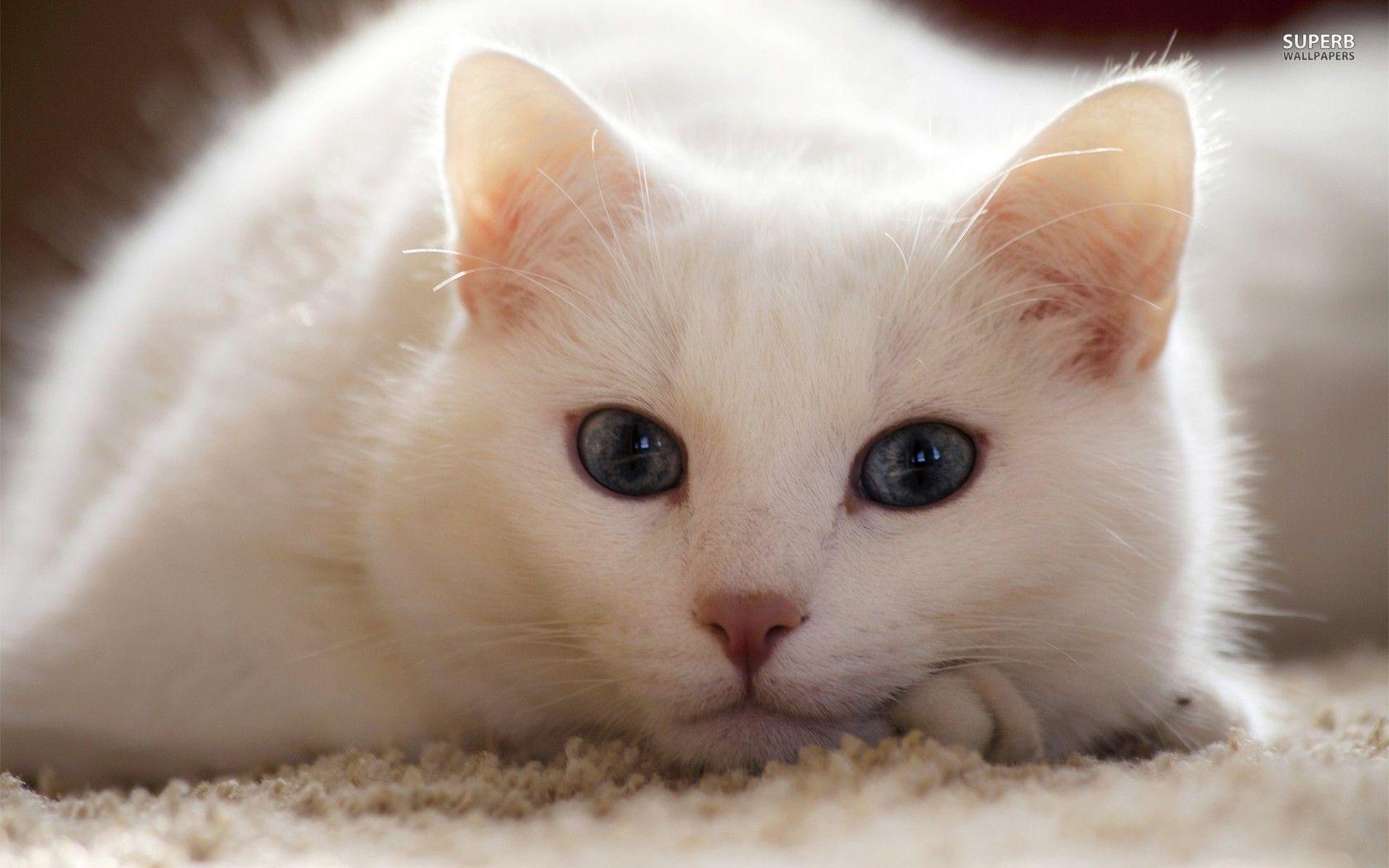 Hình nền mèo đáng yêu nhất thế giới