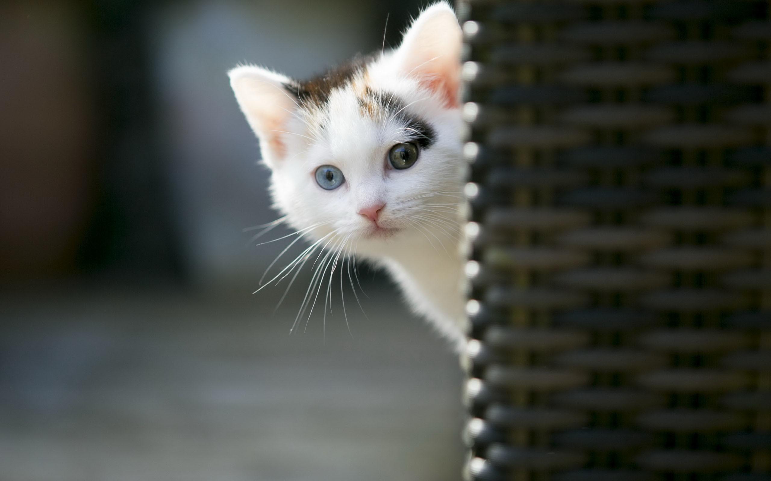 Hình nền mèo tò mò dễ thương
