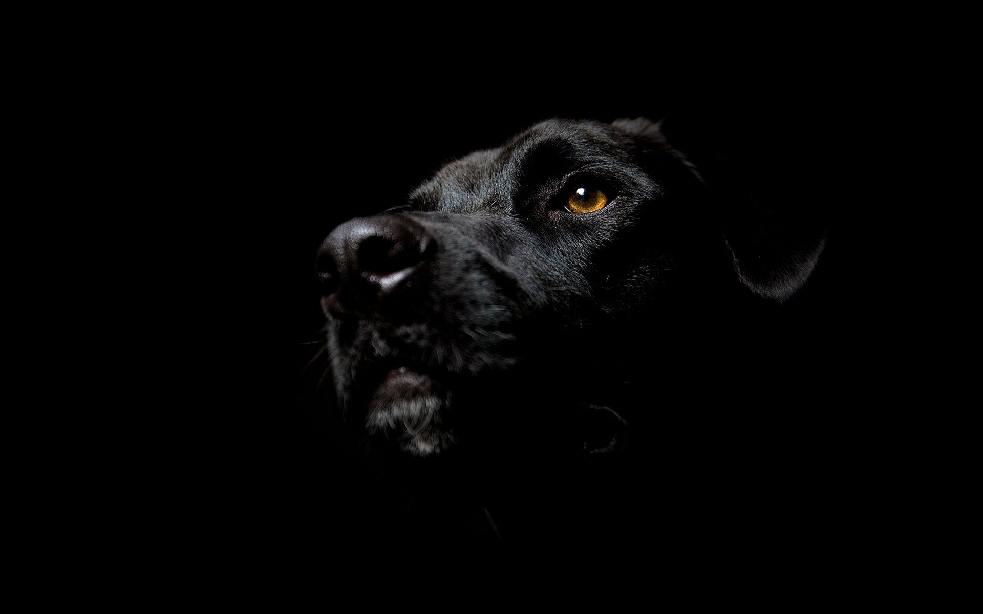 Hình nền máy tính chó màu đen