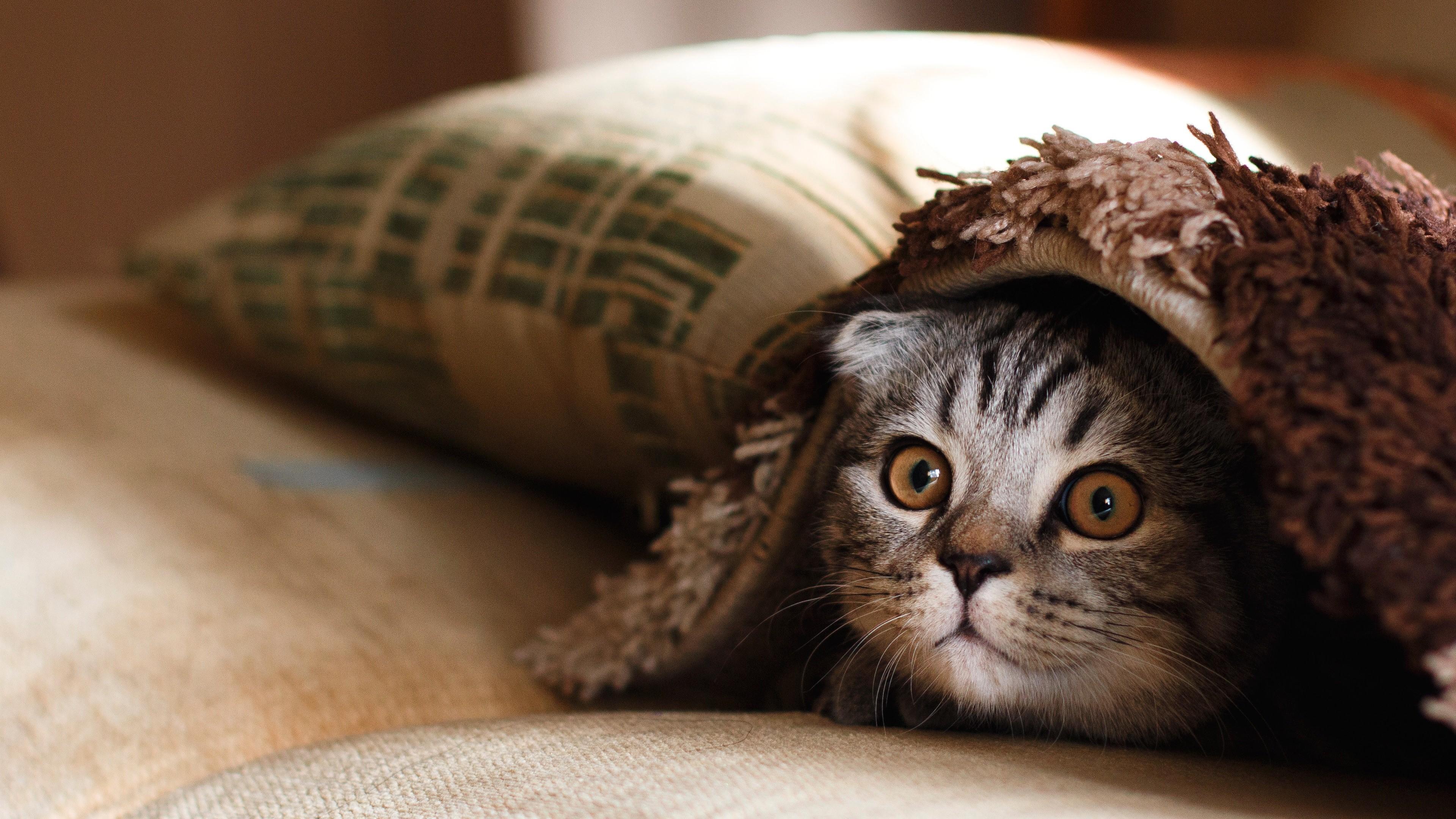 Ảnh 4K chú mèo đáng yêu đang trốn chủ của nó