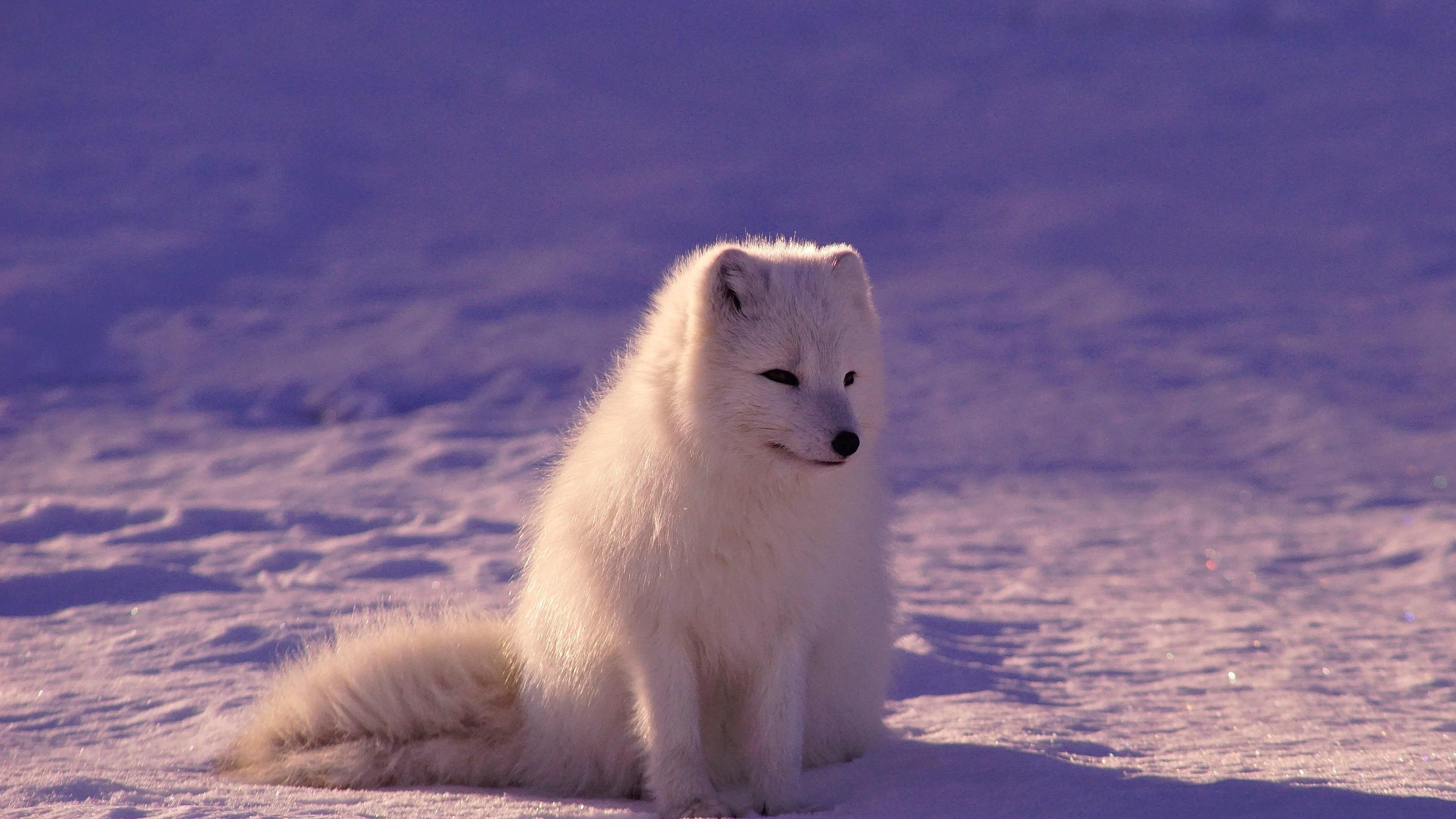 Ảnh 4K chú sói tuyết rất dễ thương