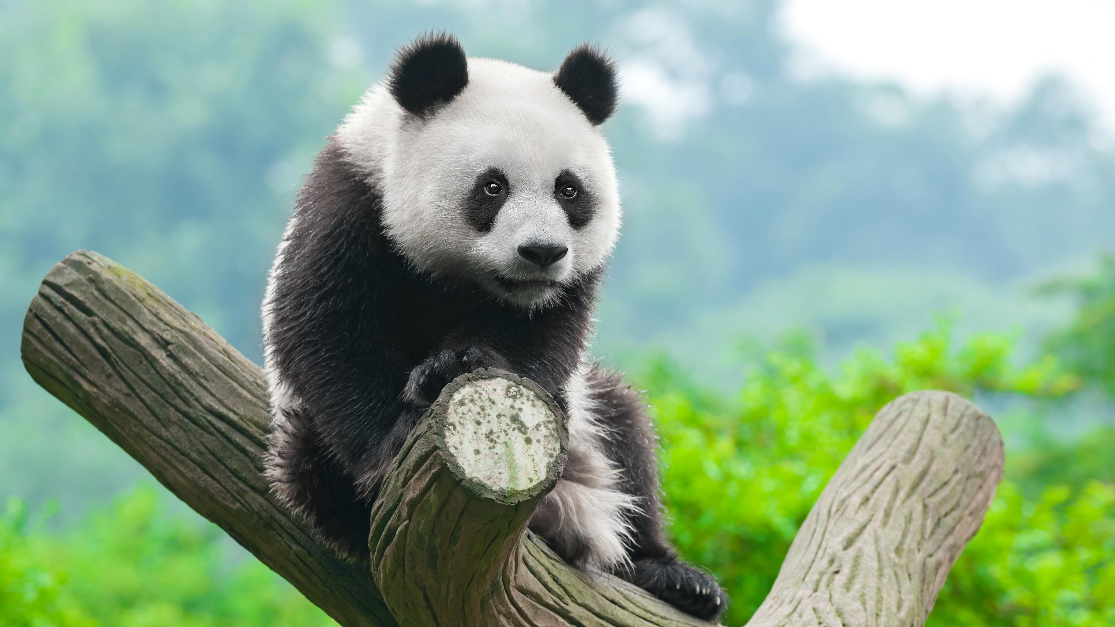 Ảnh 4K con gấu trúc vô dụng đang đần thối mặt ngồi trên cây
