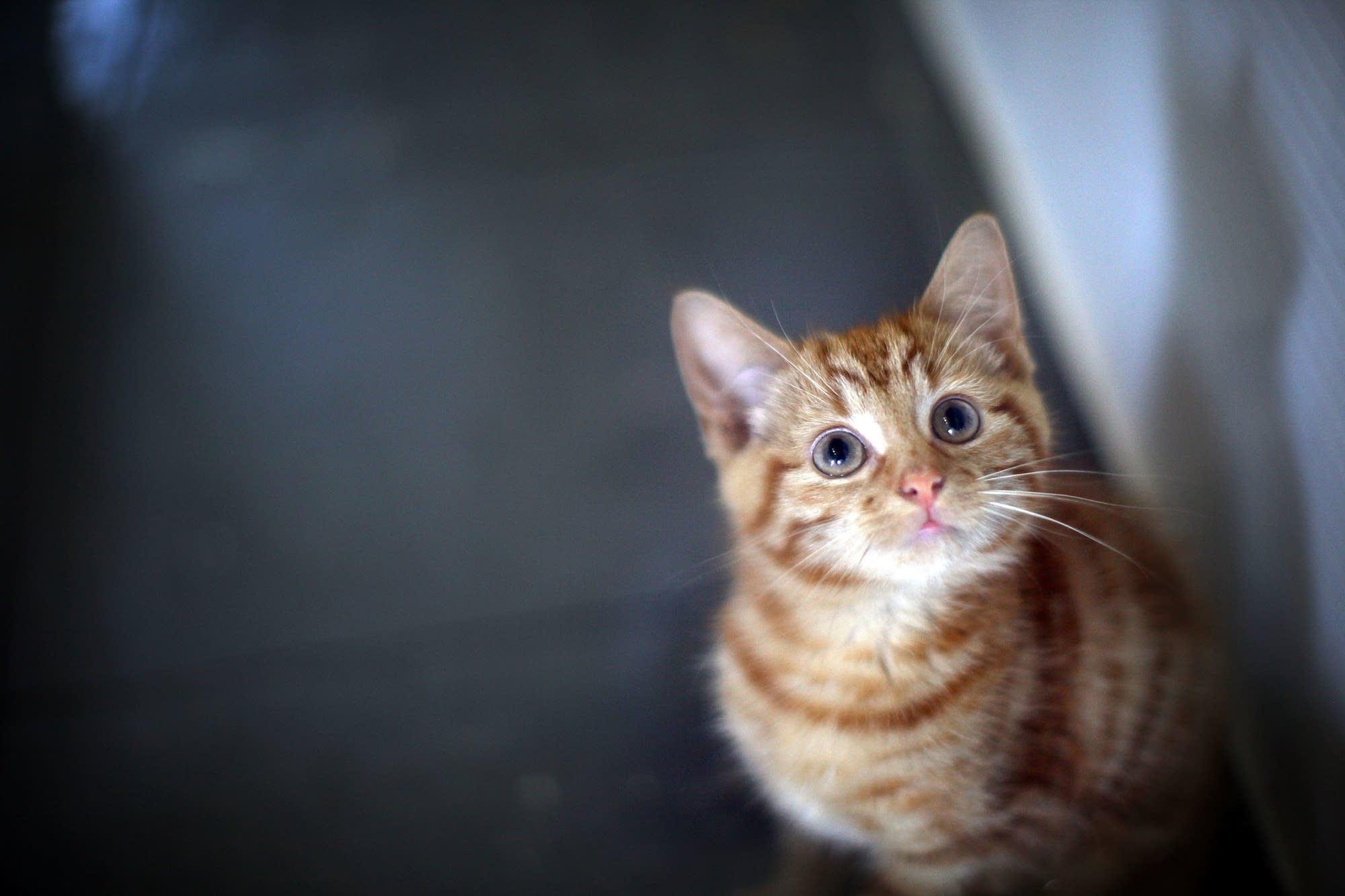 Ảnh nền chú mèo con vằn vàng đáng yêu