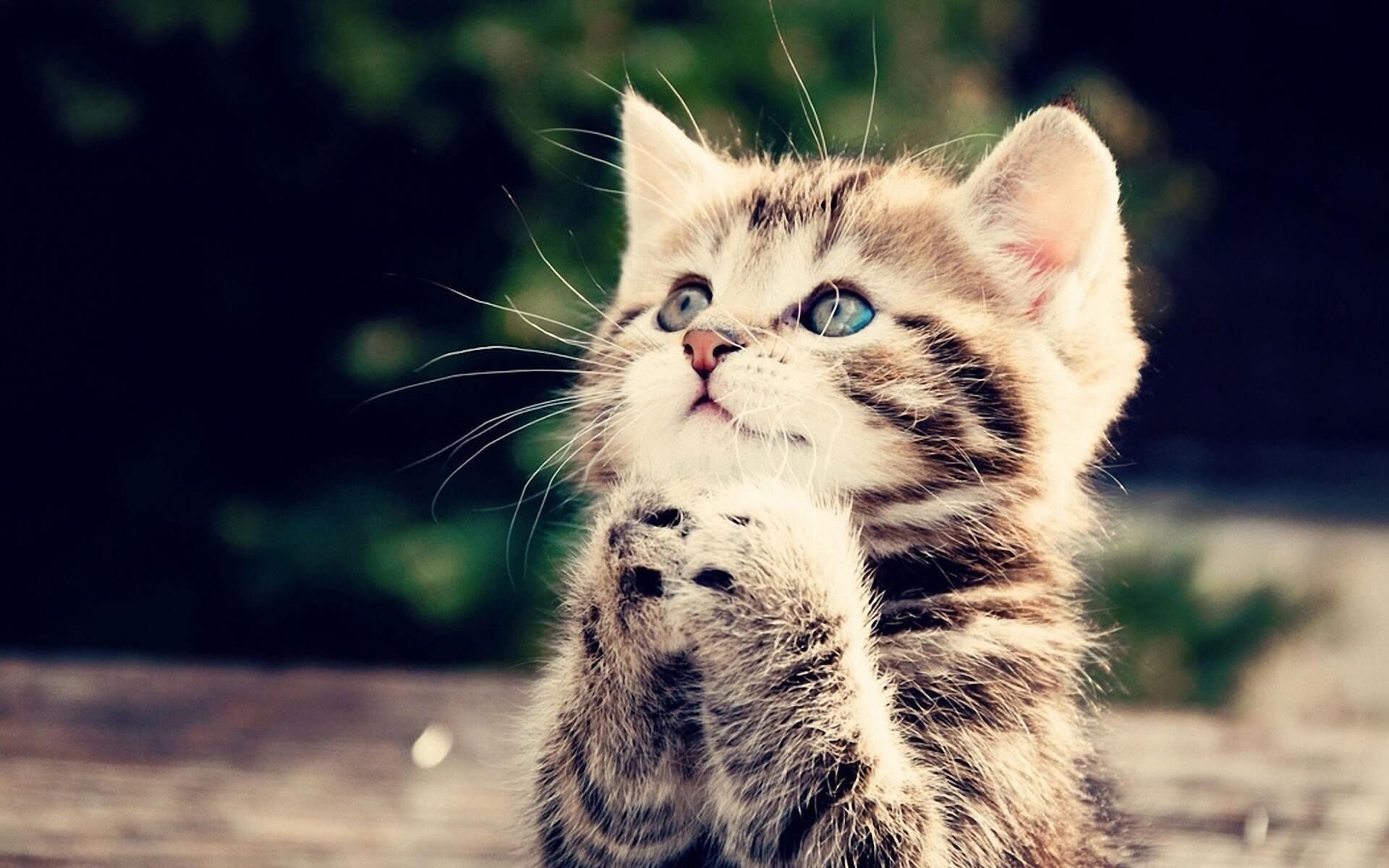 Ảnh nền chú mèo đáng yêu đang chắp tay xin cái gì đó