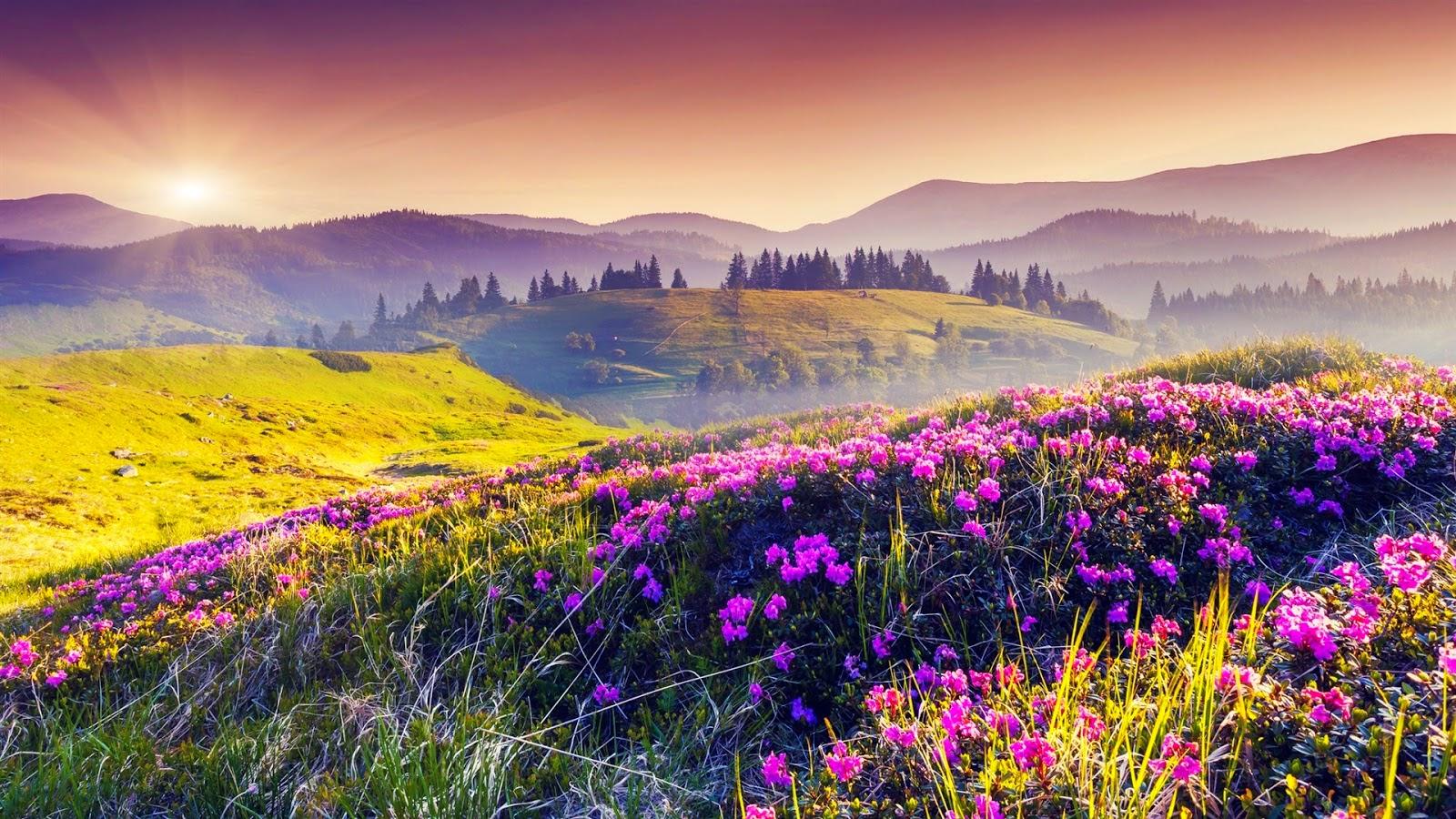 Ảnh nhìn nền ệp cánh đồng hoa màu tím