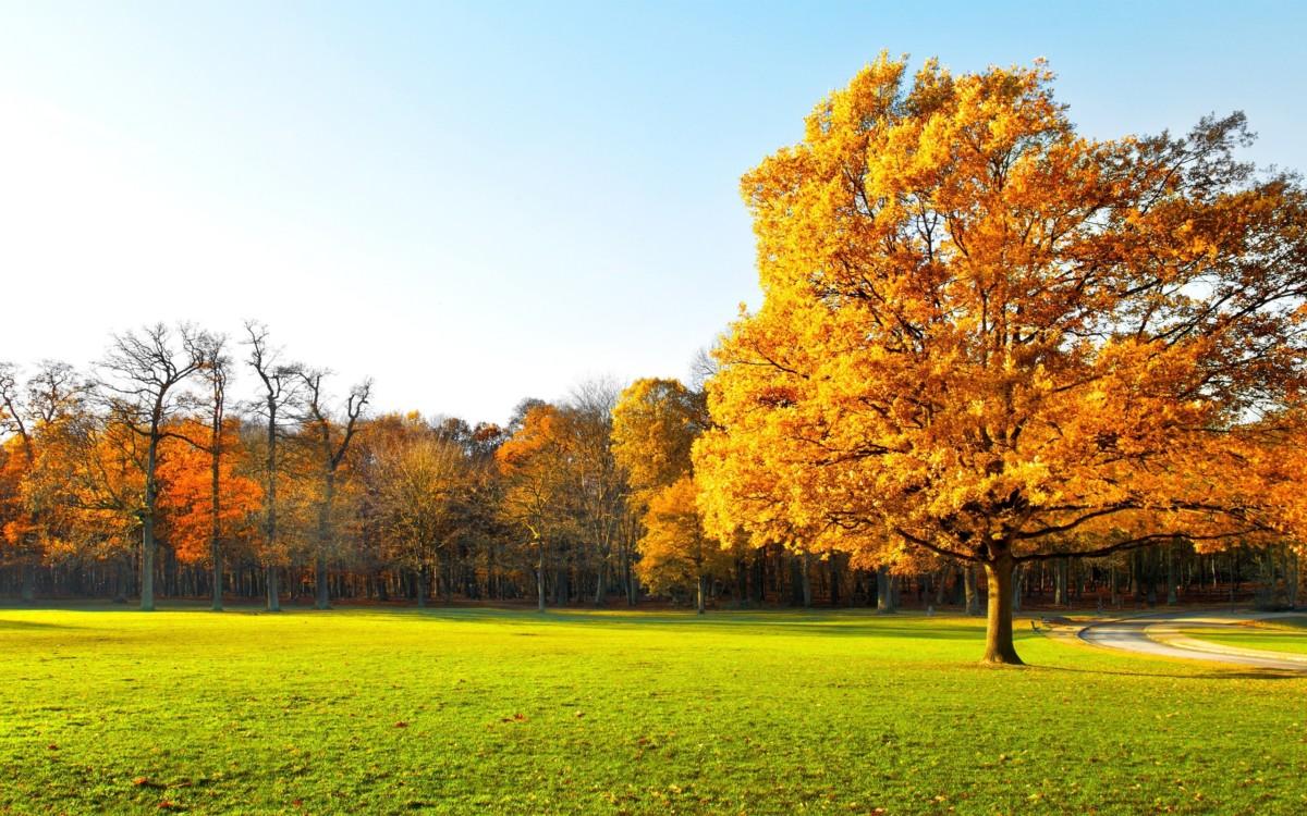 Cảnh đẹp rừng phong lá vàng rất đẹp