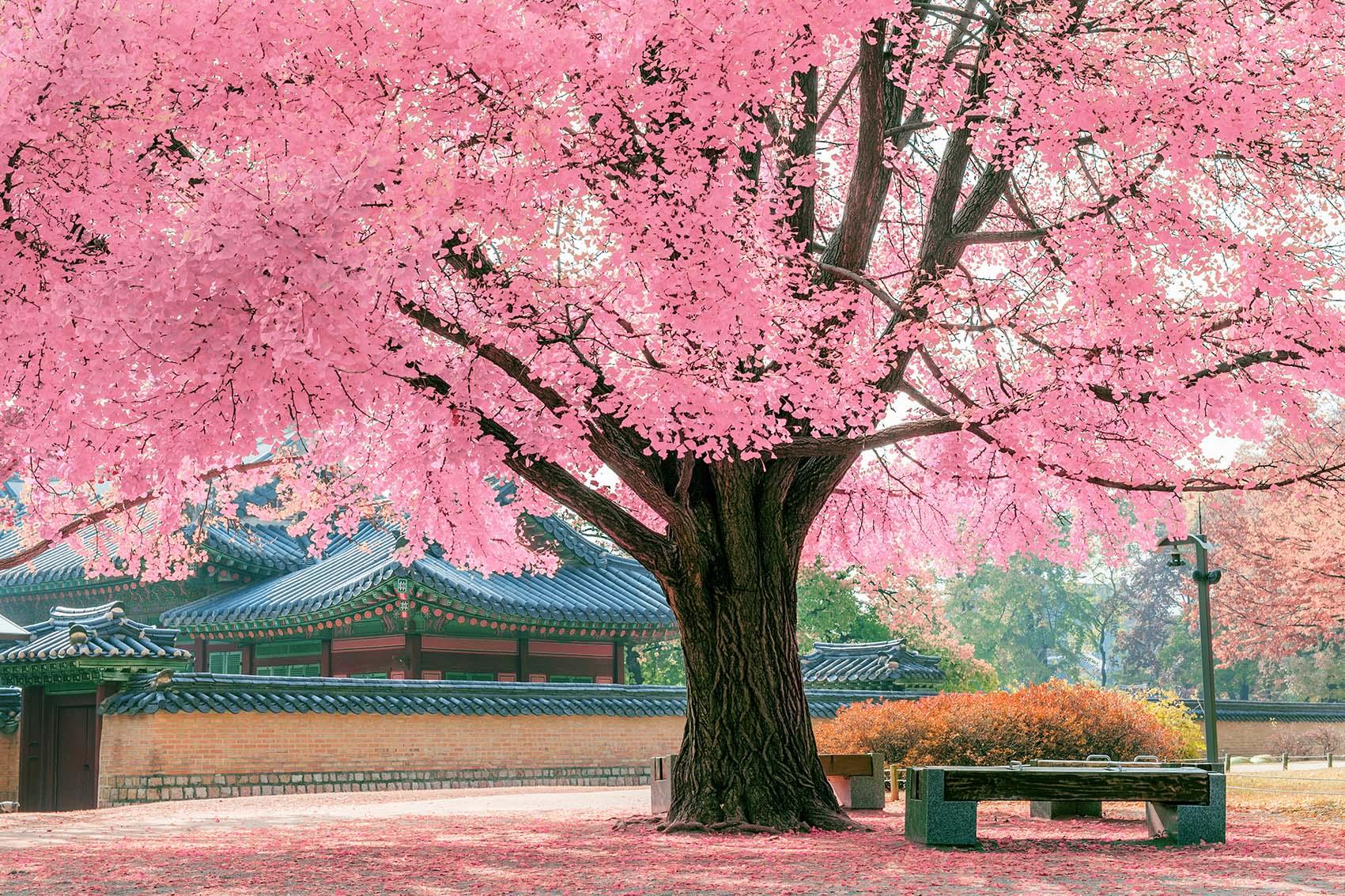 Cảnh đẹp thiên nhiên cây anh đào nở hoa rất đẹp