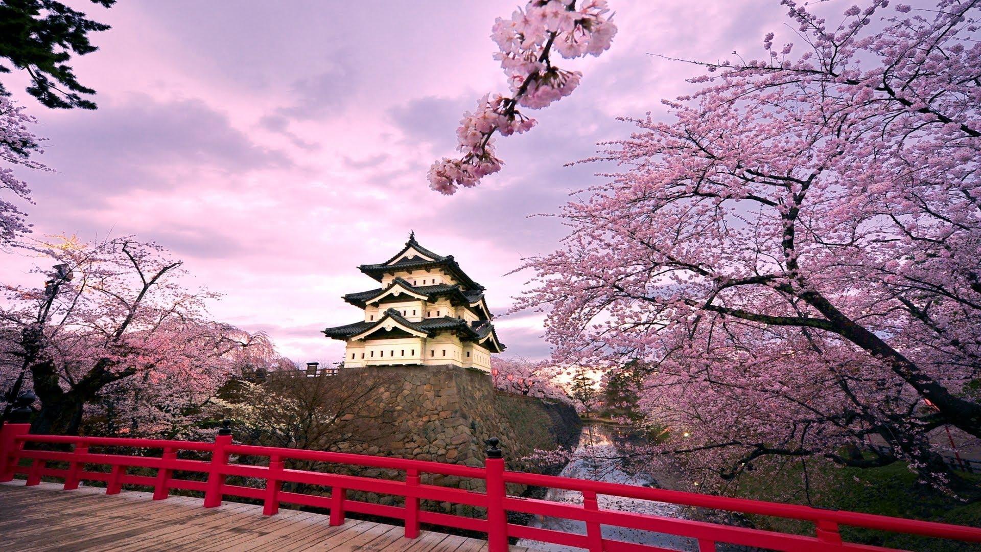 Cảnh đẹp thiên nhiên cây hoa anh đào cùng tòa nhà cổ kính Nhật Bản