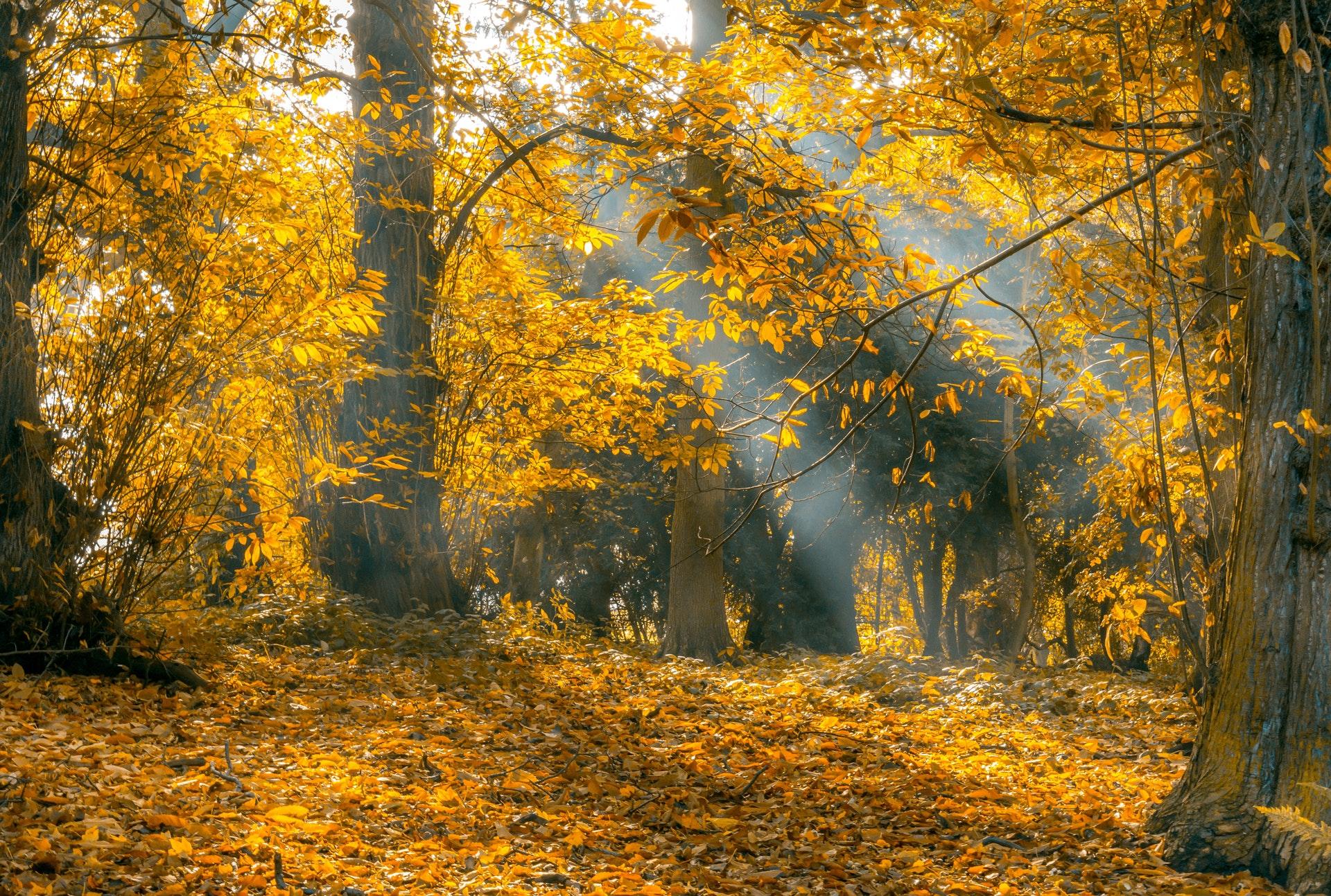Cảnh thiên nhiên rừng thu lá vàng tuyệt đẹp