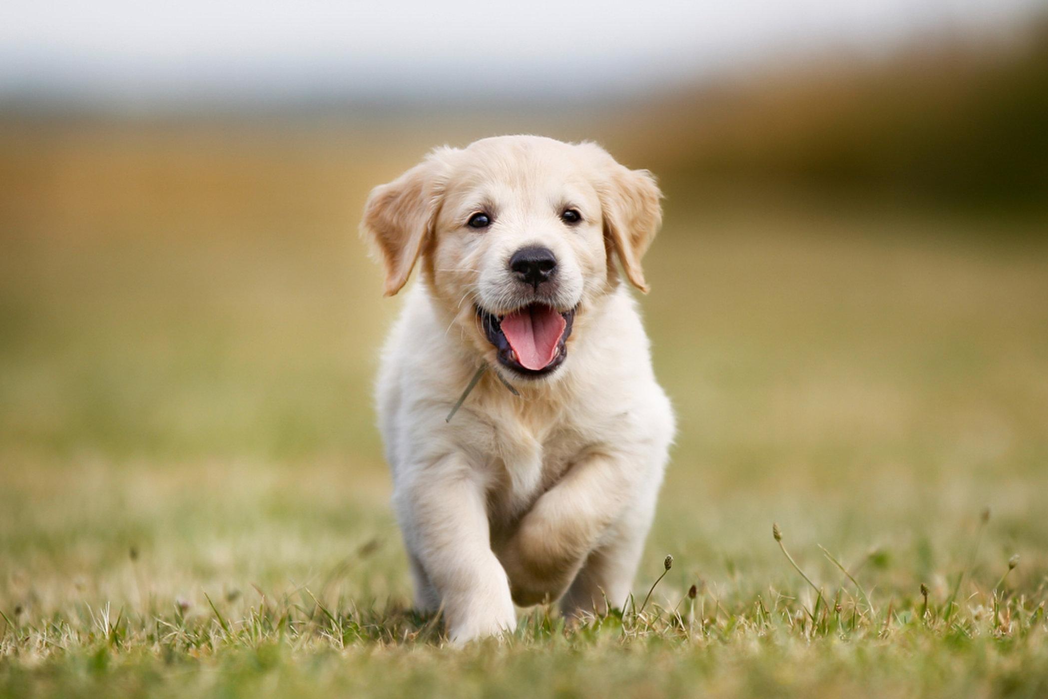 Hình nền chú cún con Golden dễ thương
