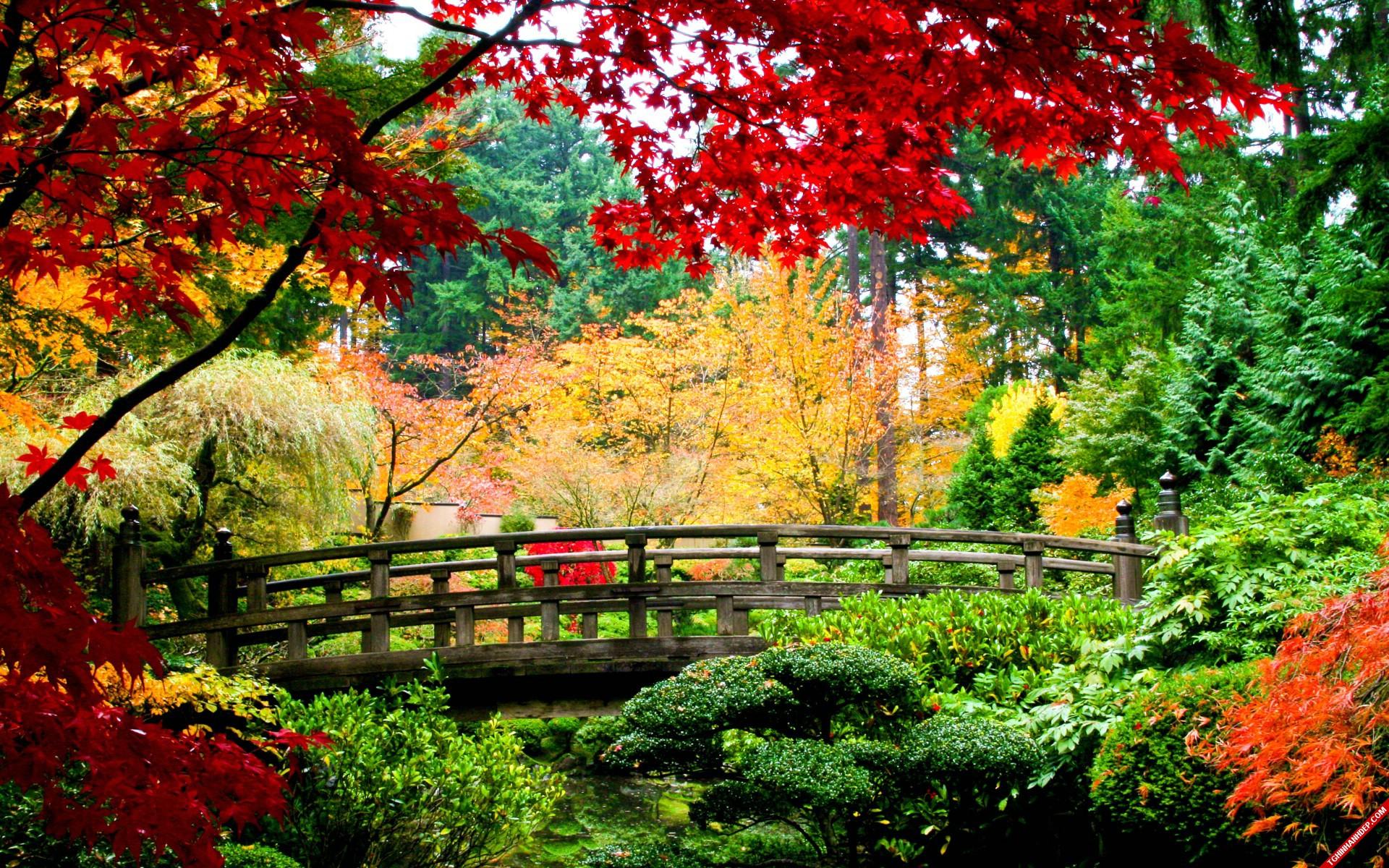 Mùa thu lá phong bên cây cầu gỗ là phong cảnh thiên nhiên rất đẹp
