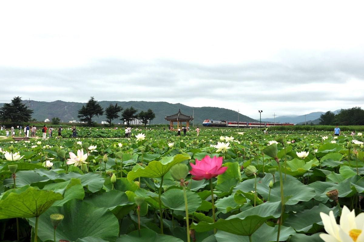 Bông sen hồng mọc giữa hồ sen trắng