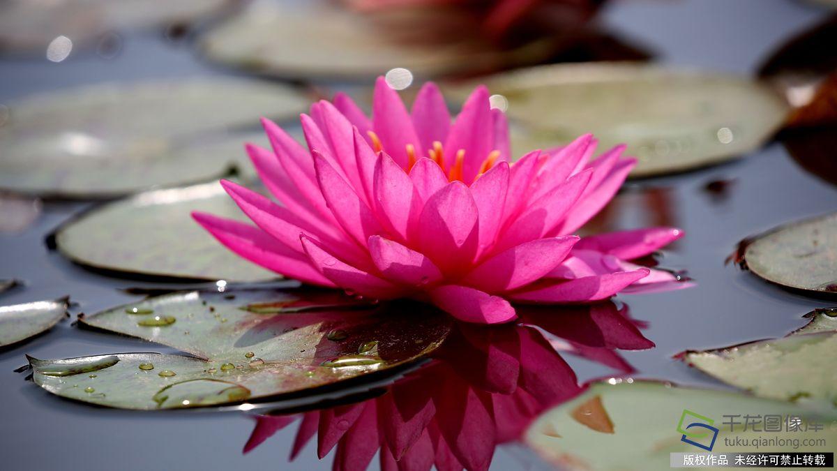 Đài hoa sen hồng thắm rất đẹp