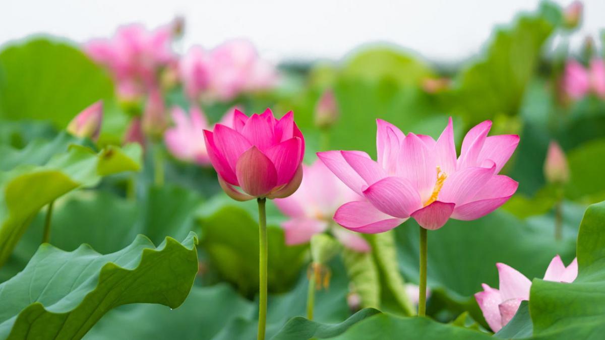 Hình ảnh hoa sen màu hồng nhạt