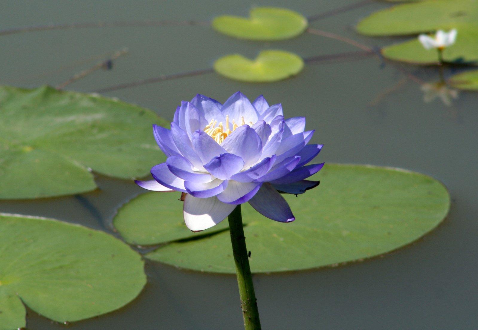 Hoa sen cánh tím rất đẹp