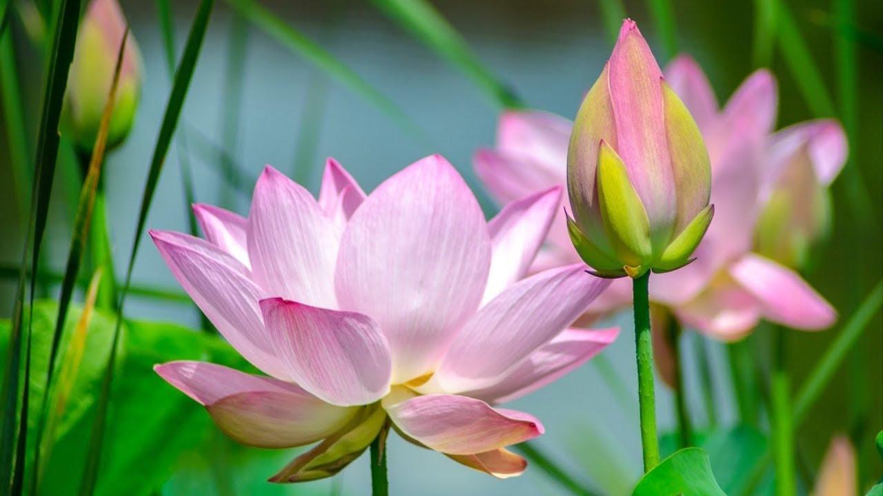 Hoa sen hồng nhạt nở bung rất đẹp
