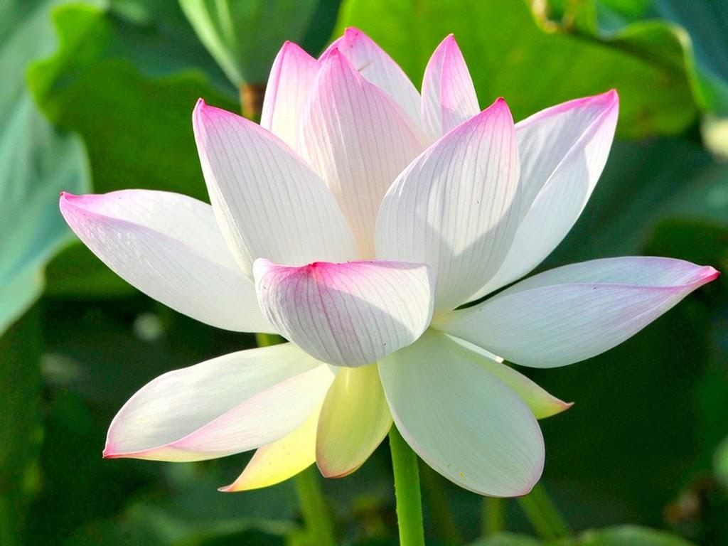 Hoa sen màu trắng chóp hồng rất đẹp