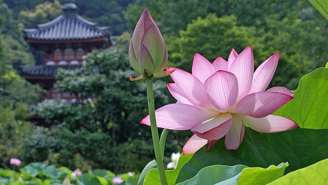 Hoa sen mọc giữa núi rừng rất đẹp