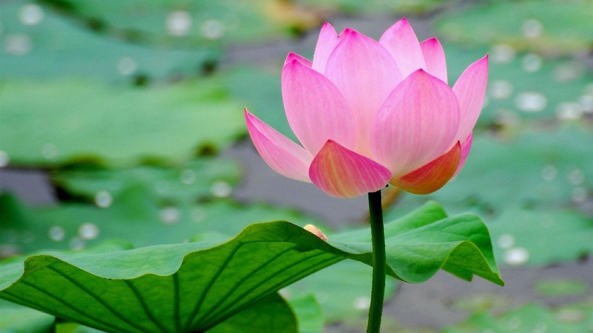 Hoa sen một bông rất đẹp mắt
