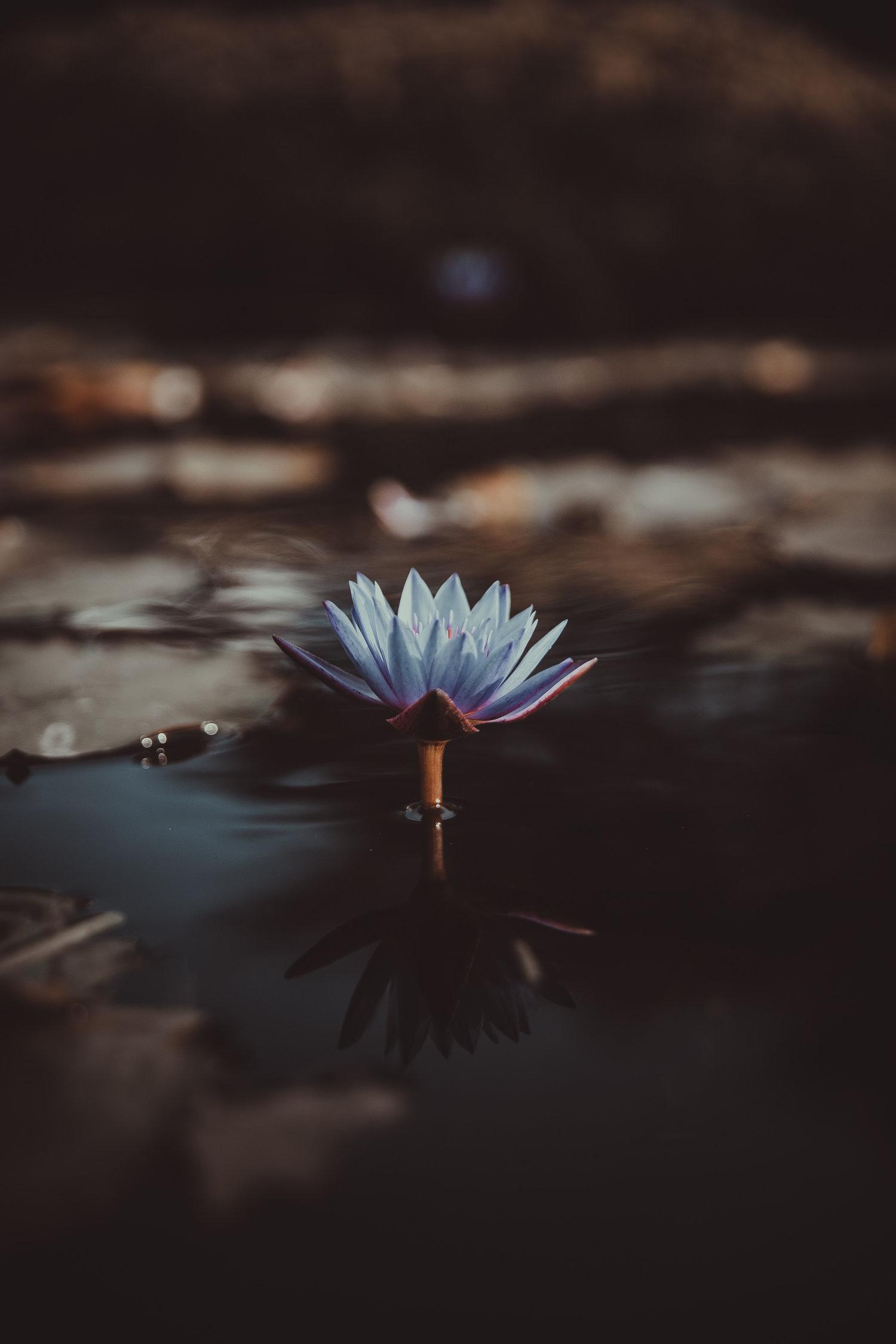 Hoa sen nở rộ đẹp đẽ trong đêm