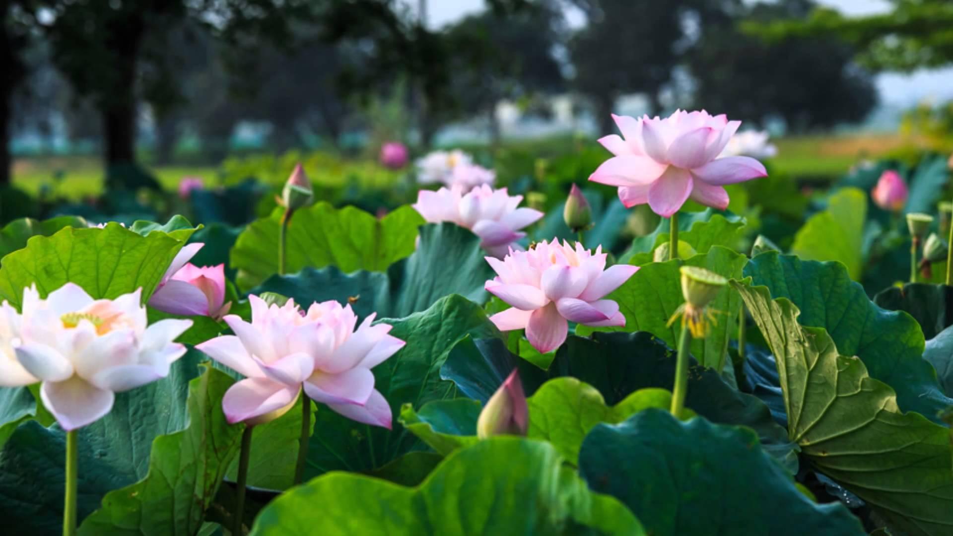 Hoa sen nở rộ dưới ánh nắng ấm