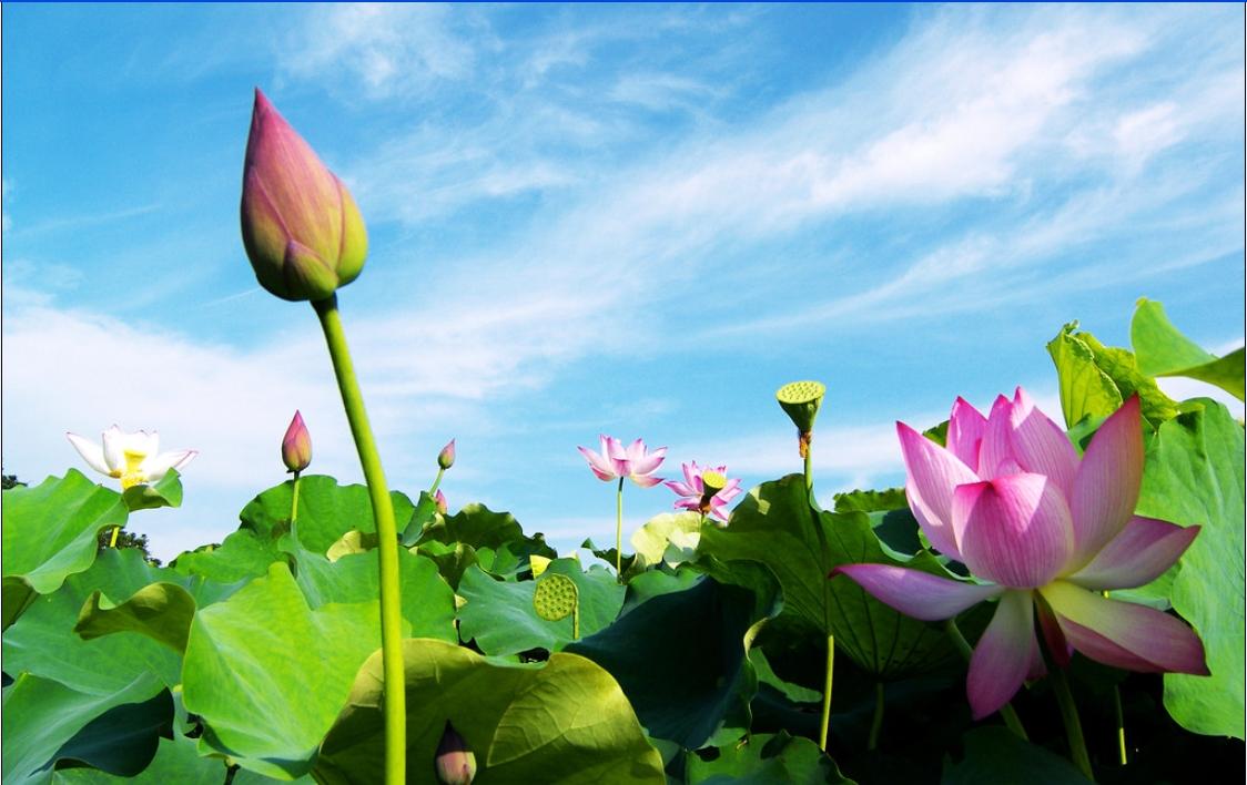 Hoa sen nụ chưa nở với biển mây