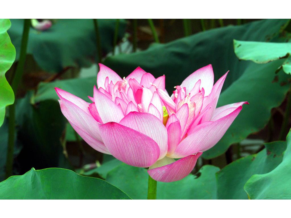 Hoa sen rất đẹp có thể làm trà uống