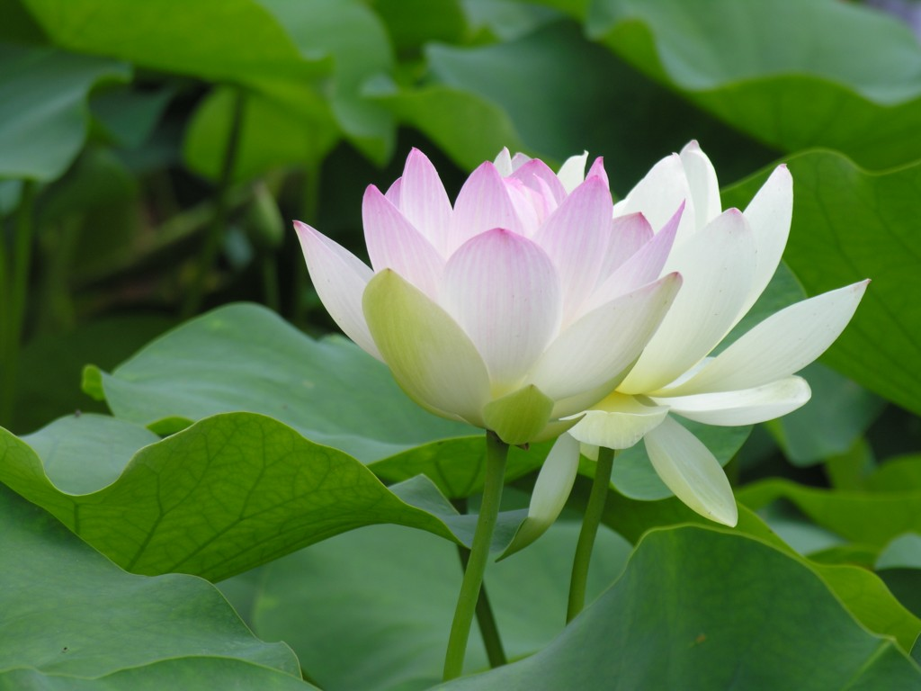 Hoa sen trắng nhìn rất đẹp