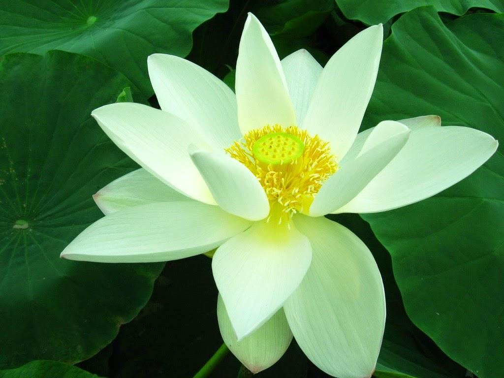 Hoa sen trắng nở rộ đẹp mắt