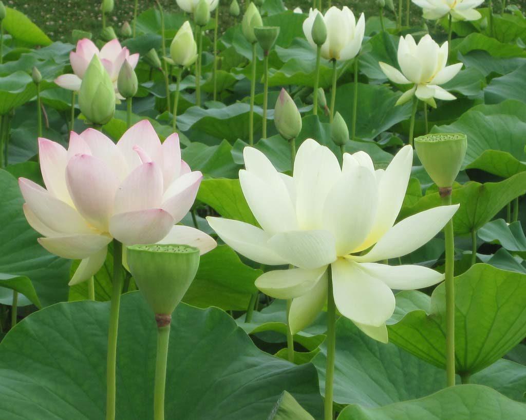 Hoa sen trắng trong đầm sen