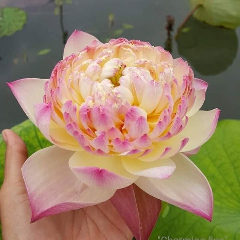 Hoa sen vàng kép viền hồng có tên là Charming Lips