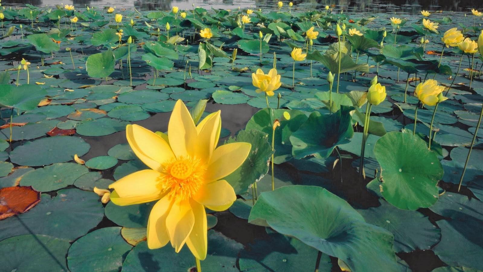 Hoa sen vàng rất đẹp