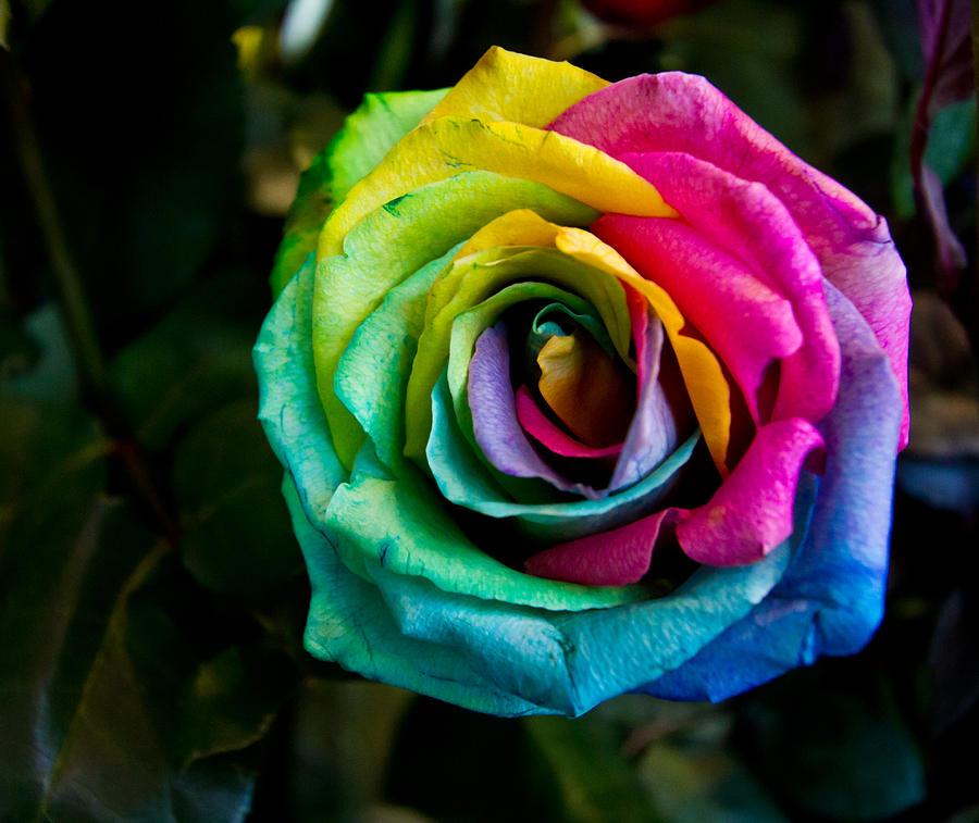 Ảnh bông hoa hồng bảy màu