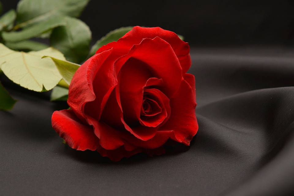 Ảnh bông hoa hồng nở đẹp