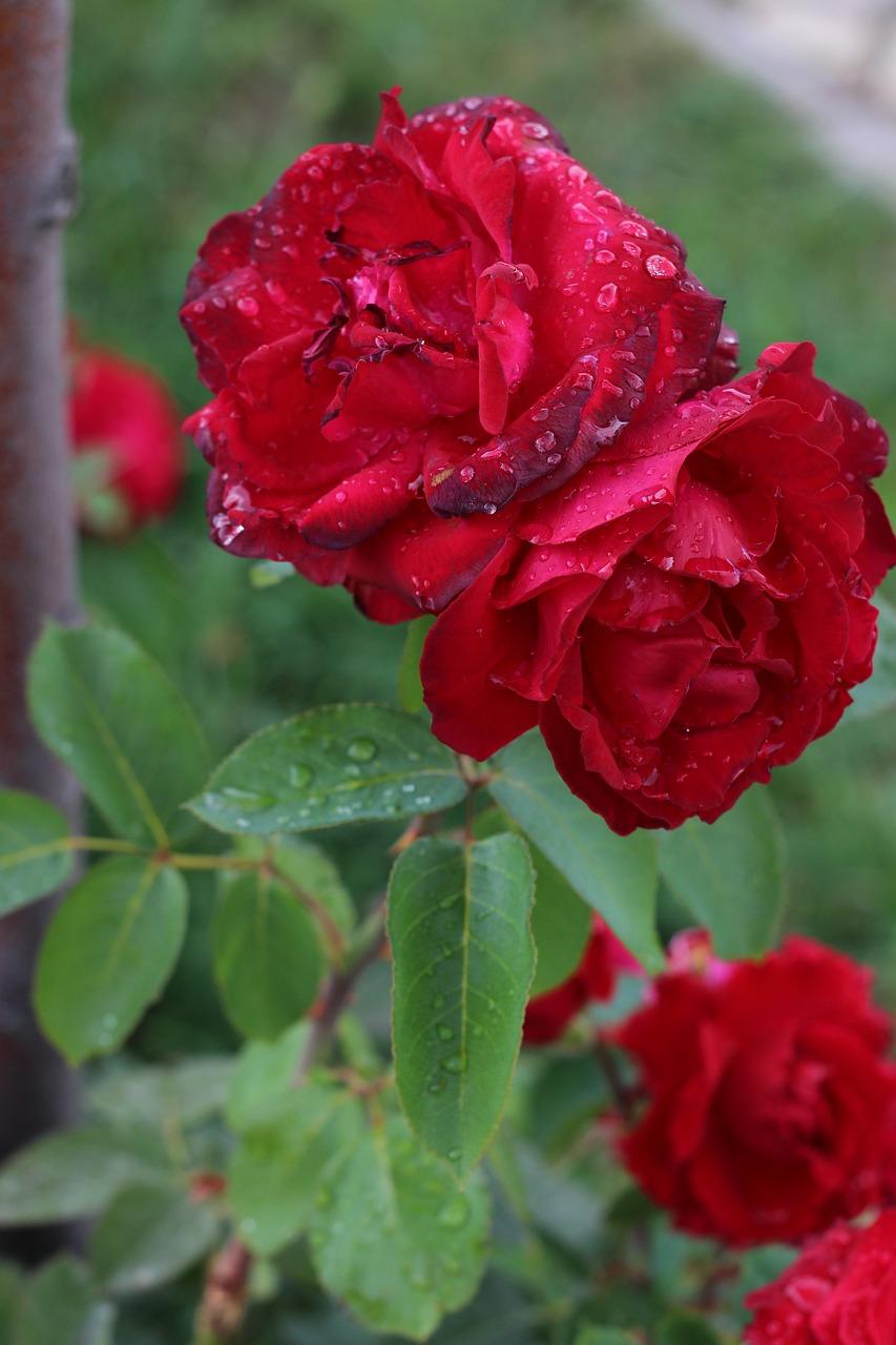 Ảnh bông hoa hồng sương sớm