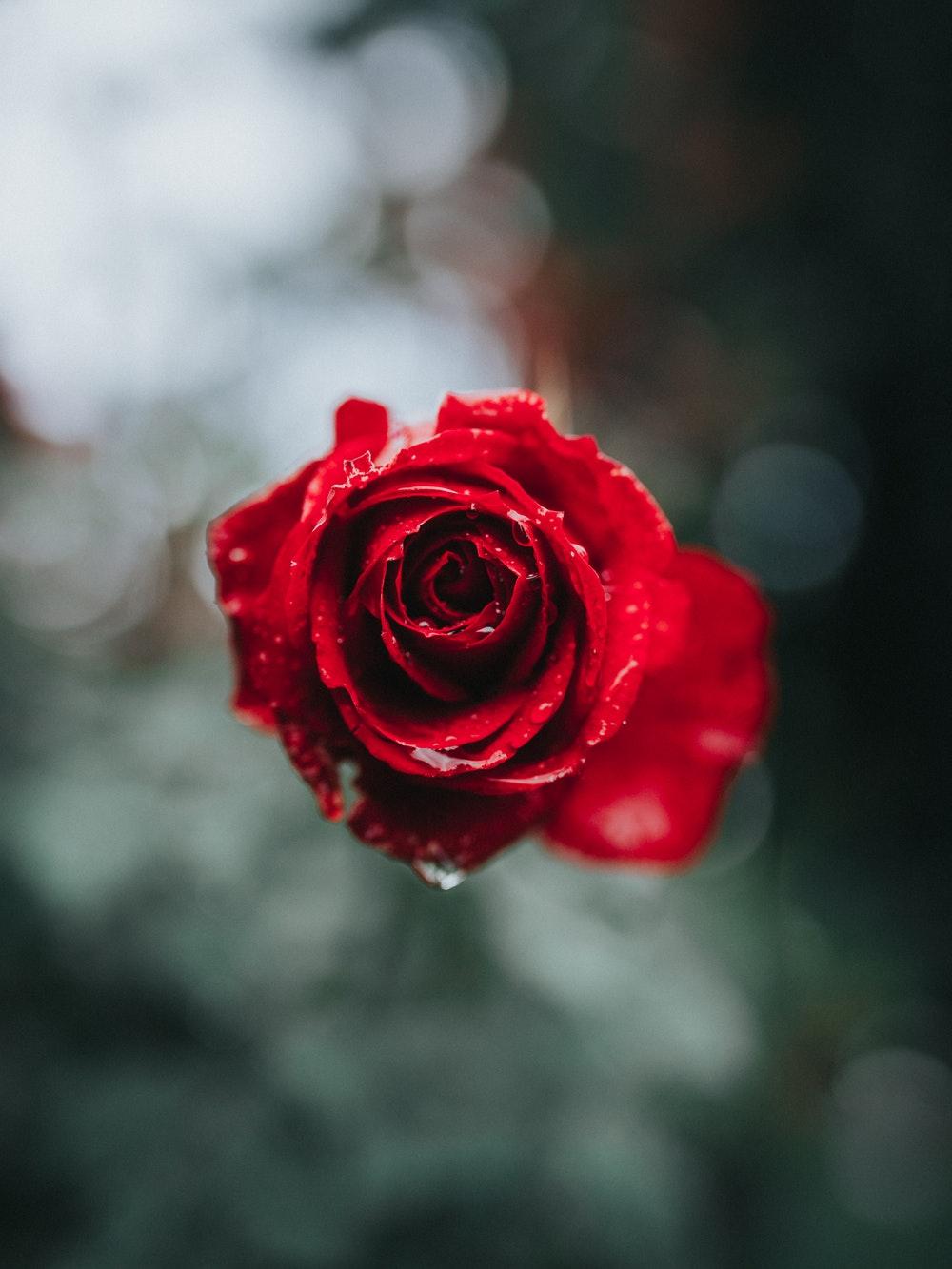Ảnh bông hoa hồng
