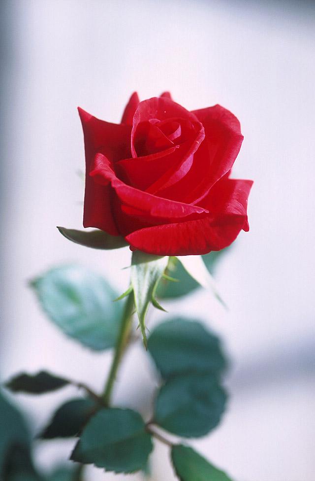 Ảnh bông hồng tươi