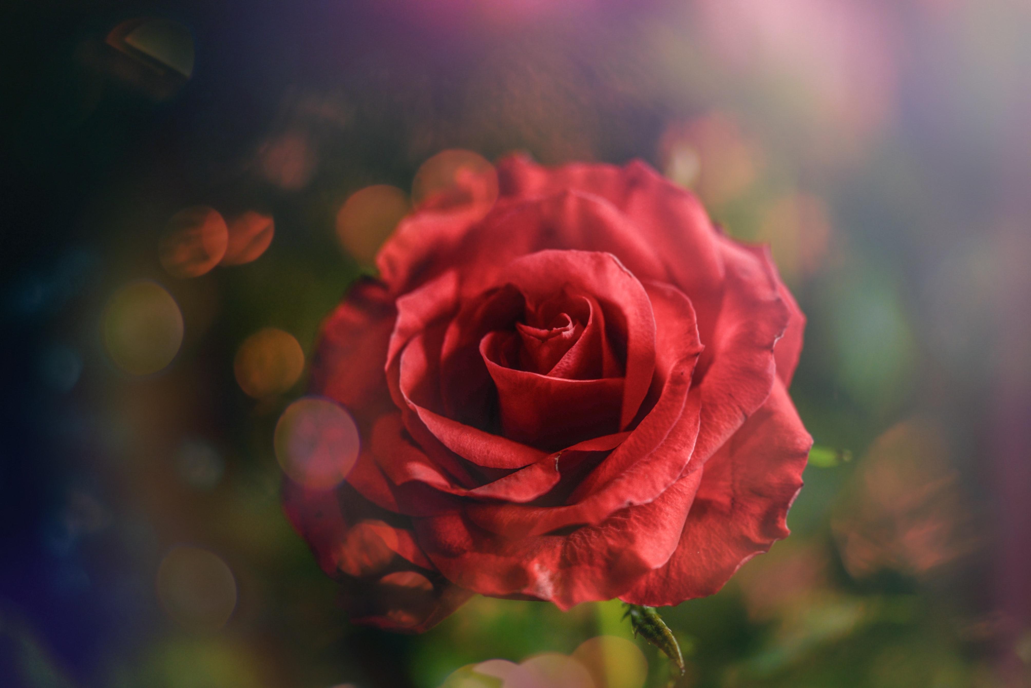 Ảnh hoa hồng đẹp lãng mạn