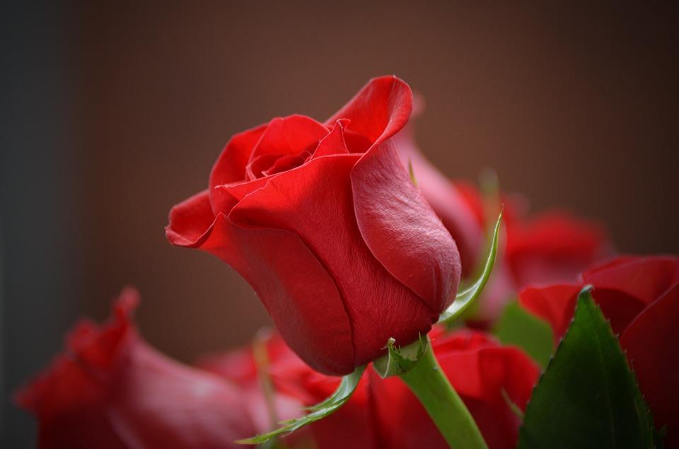 Ảnh hoa hồng lãng mạn nhất
