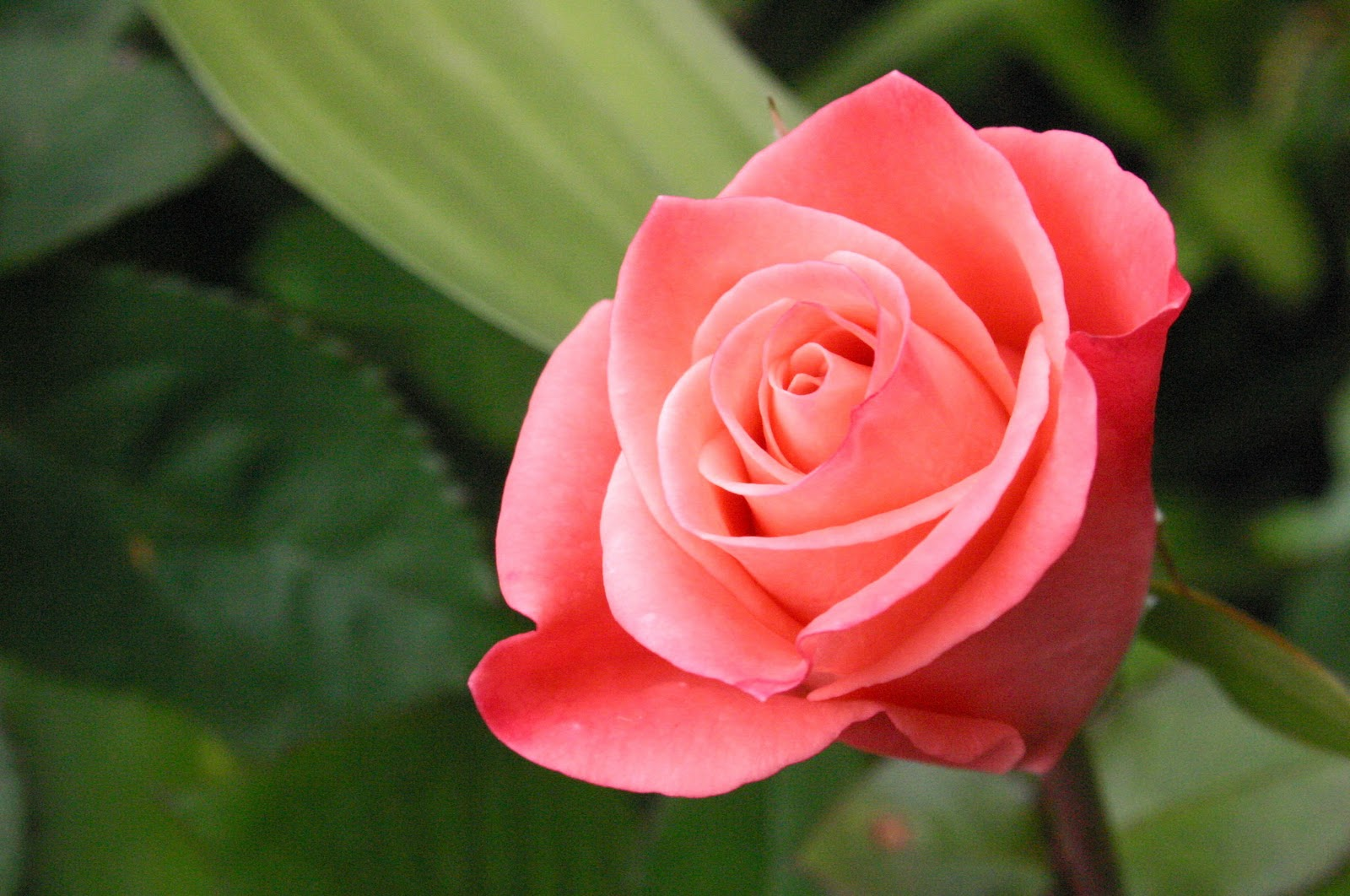Bông hoa hồng đẹp