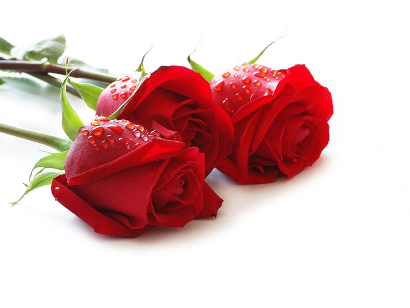 Bông hoa hồng lễ tình nhân