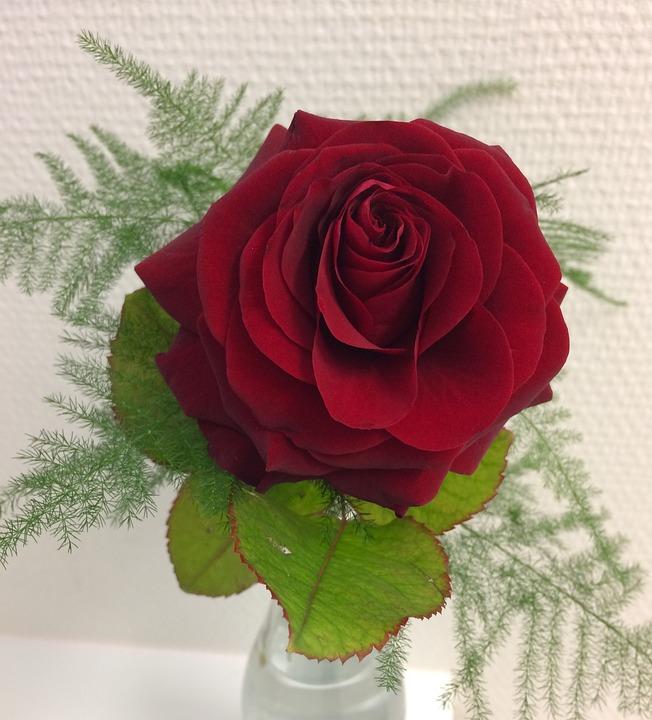 Bông hoa hồng nở đẹp