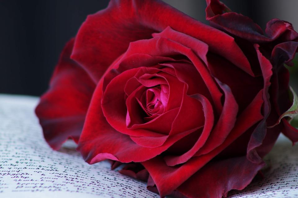Hình ảnh bông hoa hồng đẹp