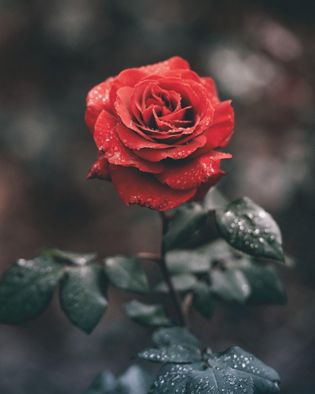 Hình ảnh cây hoa hồng