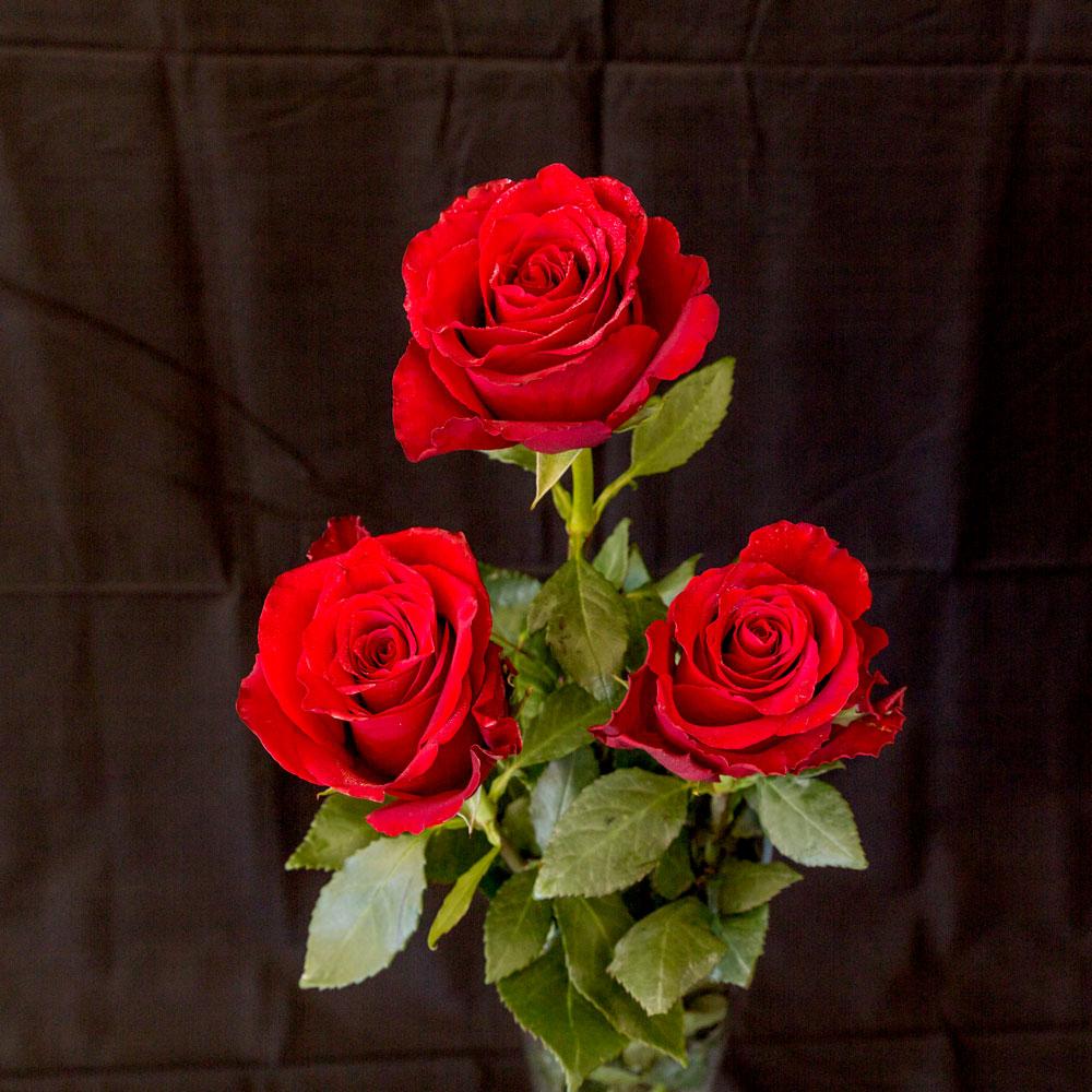 Hình ảnh đóa hoa hồng