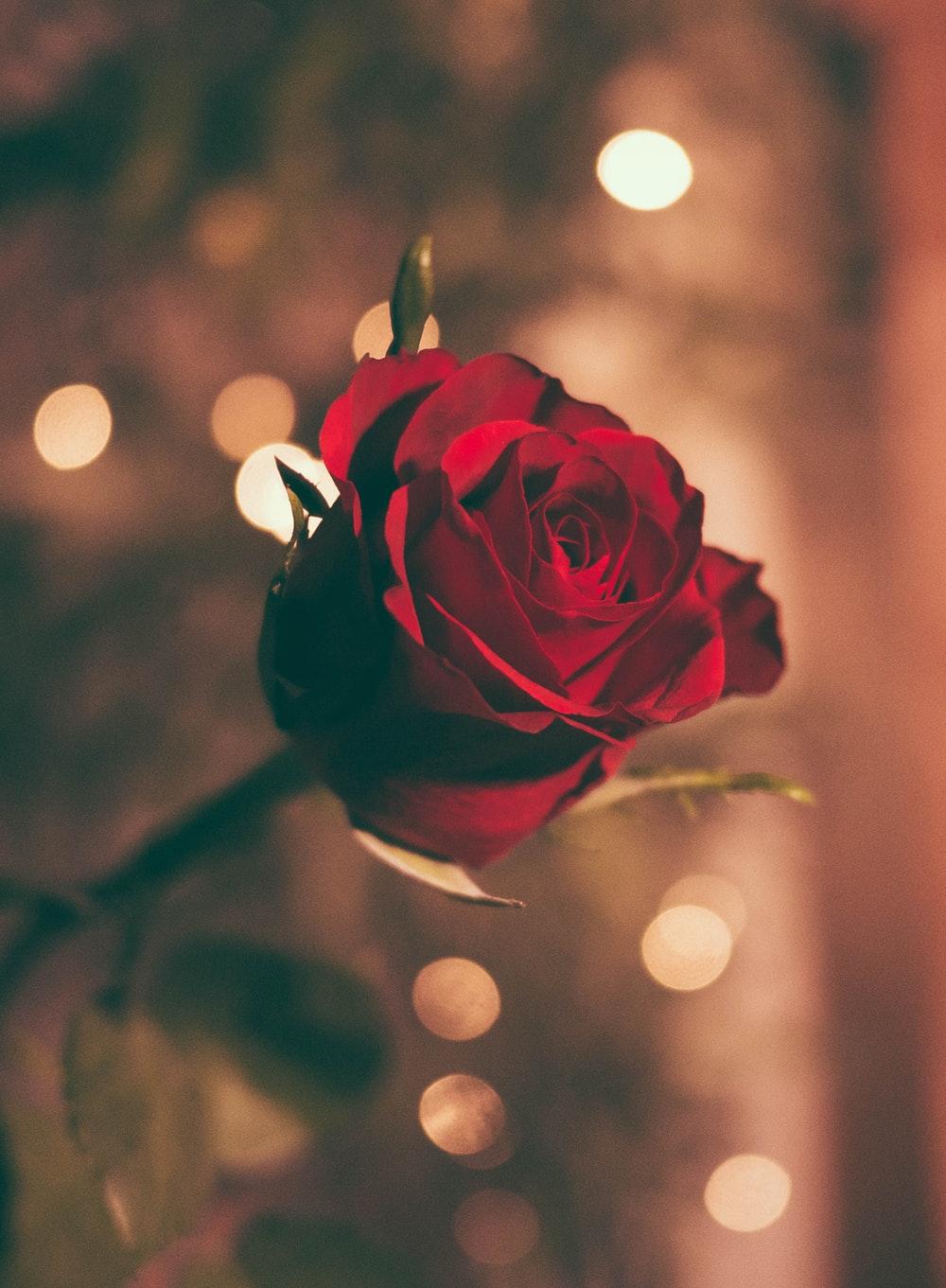 Hình ảnh hoa hồng ấm áp