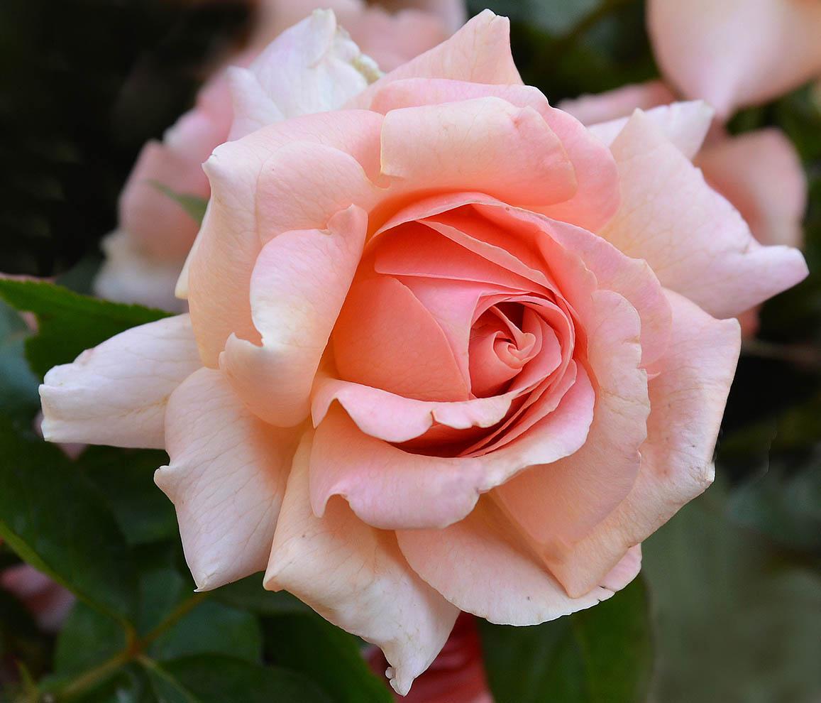 Hình ảnh hoa hồng đep và lãng mạn