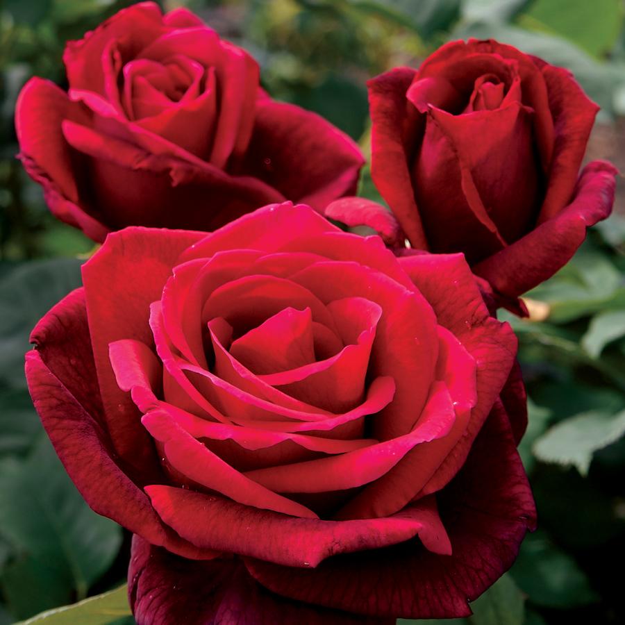 Hình ảnh hoa hồng đẹp và lãng mạng