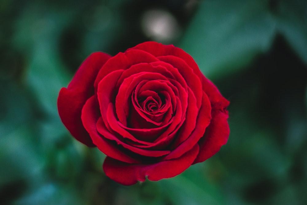 Hình ảnh hoa hồng mới nở