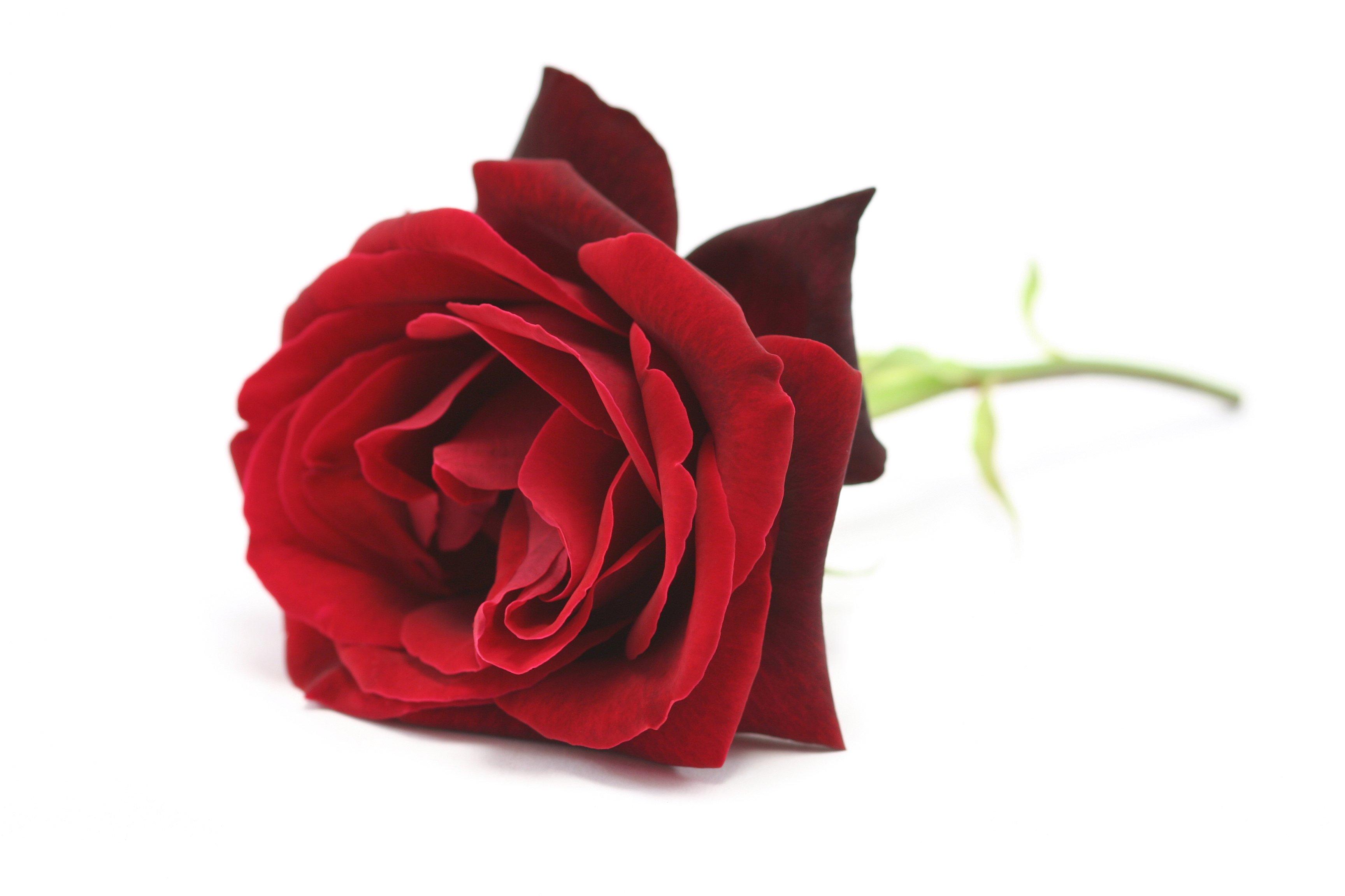 Hình ảnh hoa hồng sinh nhật đẹp